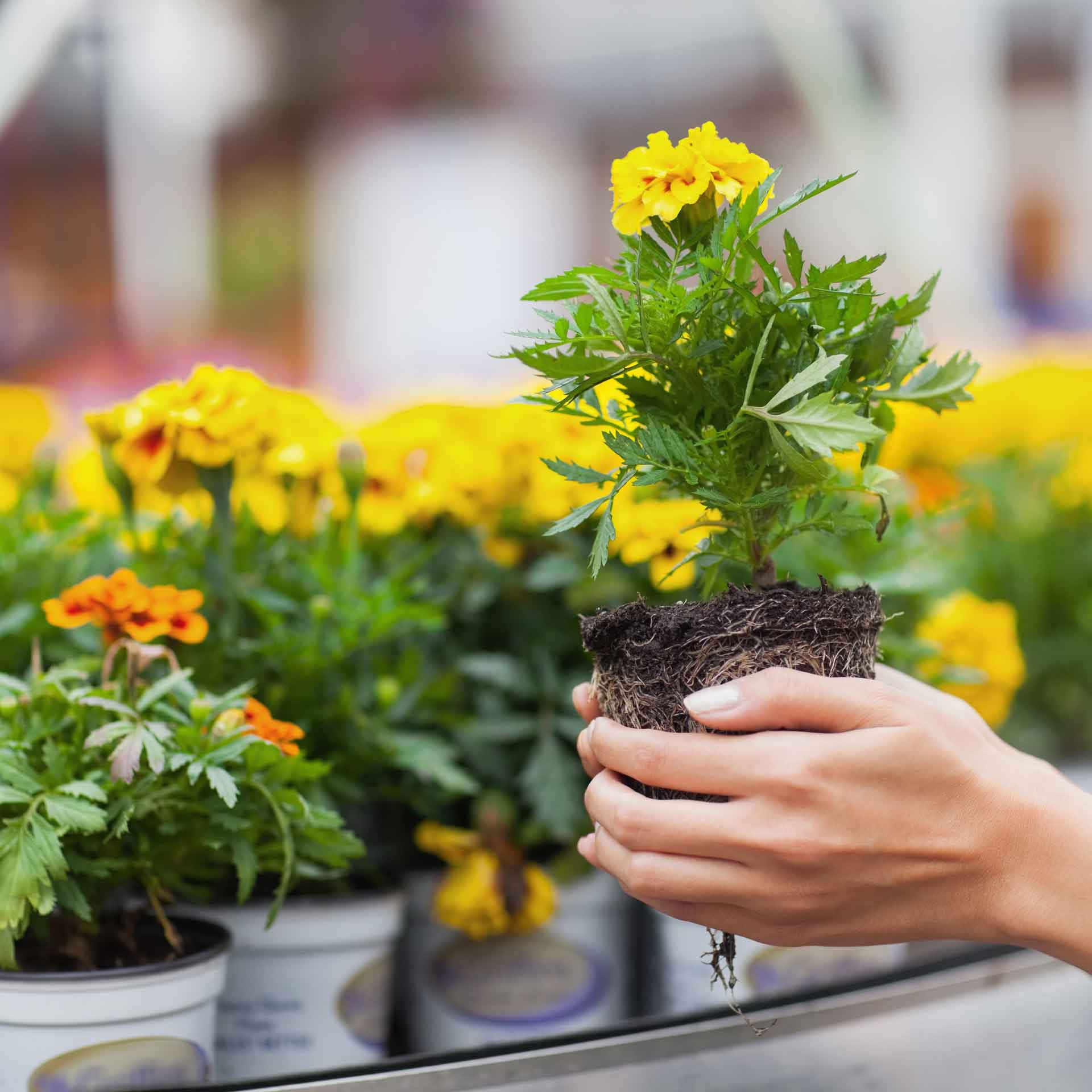 woman holding pot of yellow flowers