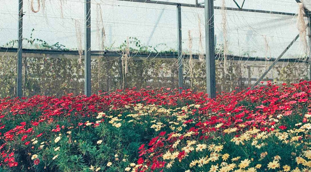 greenhouse with red and white flowers